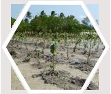 Experimental mangrove nursery