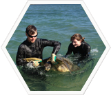 Capture of green turtle