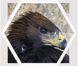Bird of Prey, Mongolia