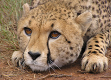 cheetah-donate-support-earthwatch