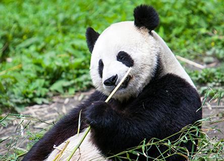 panda-research-science-earthwatch-donate