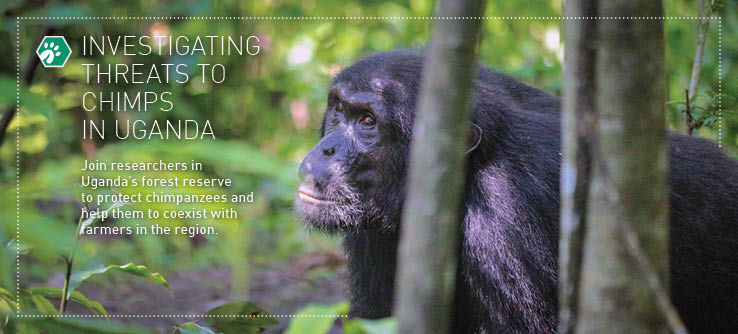 investigating threats to chimps in uganda