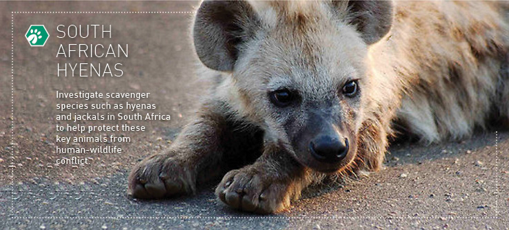 south africas hyenas