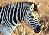 research-science-zebra-earthwatch
