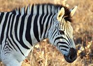research-science-zebra-earthwatch