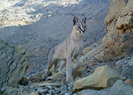 caracal-oman-science