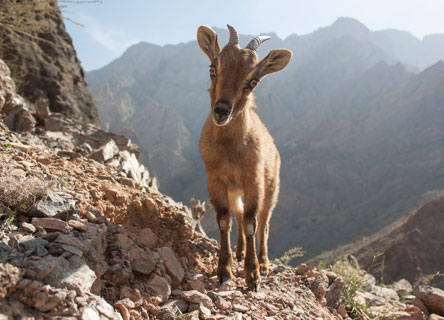 goat-oman-science