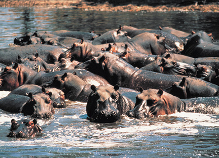 hippos-nature-science-earthwatch-africa