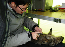 Dr. Cohas recording biometric measurements of a marmot