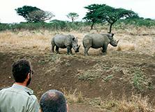 White rhinos in Hluhluwe-iMfolozi Park, South Africa