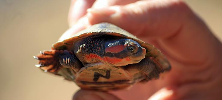 Freshwater Turtle, Australia
