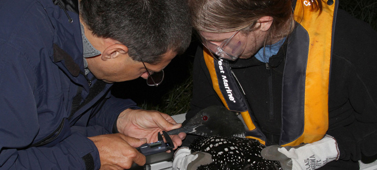 Earthwatch scientist recording measurements of a common loon
