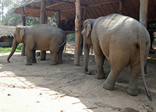 Golden Triangle Asian Elephant Foundation, Thailand
