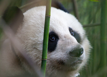 On the Trail of Giant Pandas in China