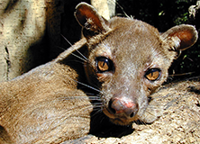 Carnivores of Madagascar