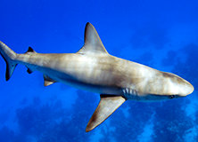 Shark Conservation in Belize