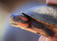 Freshwater Turtles of the Kimberley