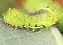 Climate Change and Caterpillars in Ecuador