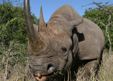 Saving Kenya's Black Rhinos