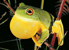 Australia's Vanishing Frogs - Student Challenge