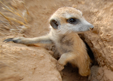 Meet the Meerkats of the Kalahari