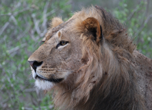 Tracking Predators of the African Savannah