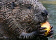 Tracking Beavers Through German Waters