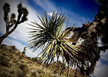 Saving Joshua Tree's Desert Species
