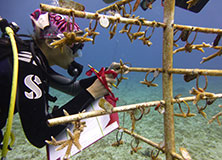 Helping Endangered Corals in Little Cayman