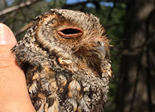 Tracking Tiny Owls in Western U.S. Forests