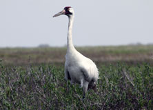 Protecting Whooping Cranes and Coastal Habitats in Texas
