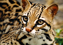 Monitoring Ocelots in Trinidad