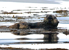 Sea Otters and Seagrass in Alaska