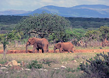 Elephants and Sustainable Agriculture in Kenya