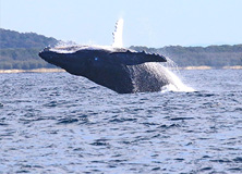 Healthy Humpbacks
