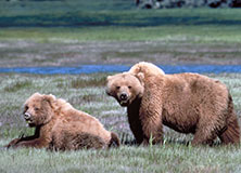 Climate Change, Huckleberries, and Grizzly Bears in Montana