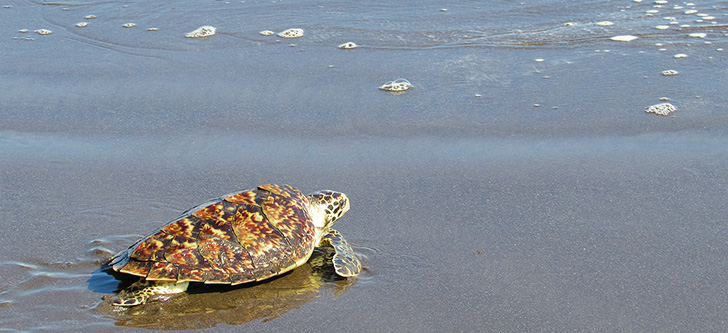 Sea turtles are one of the most vulnerable animals to marine debris