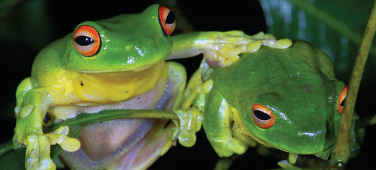 Two green tree frogs in Australia