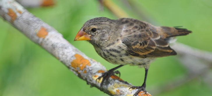 A medium ground finch, one of 14 species of Darwin's finch.