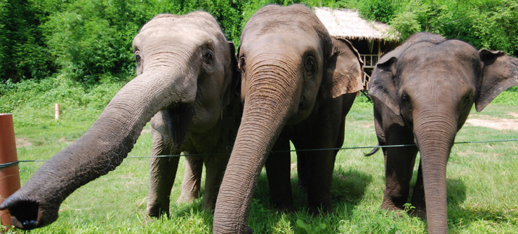 Elephants at the Golden Triangle Asian Elephant Foundation.