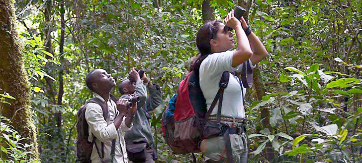 Researchers observe chimpanzees as they move through trees  in Uganda