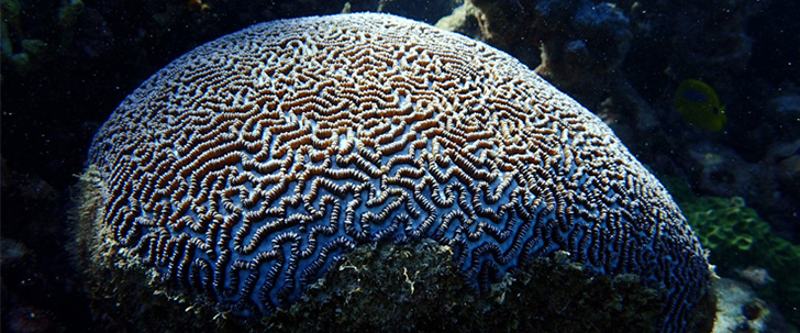 Beautiful brain coral formation in the shallow reef
