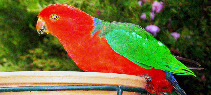 Earthwatch volunteers spot an Australian king parrot.