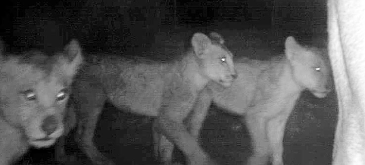 Lion cubs captured at night by a camera trap.