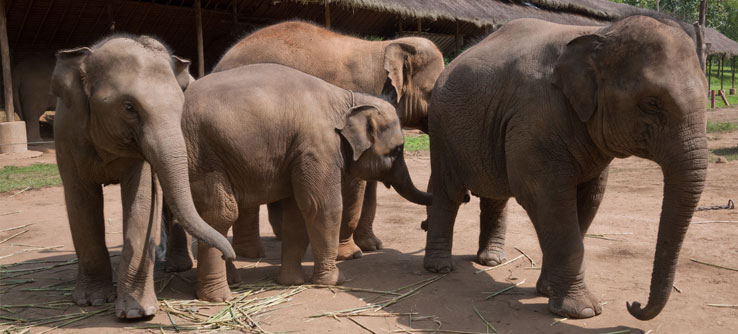 Volunteers help run cognition experiments with elephants.