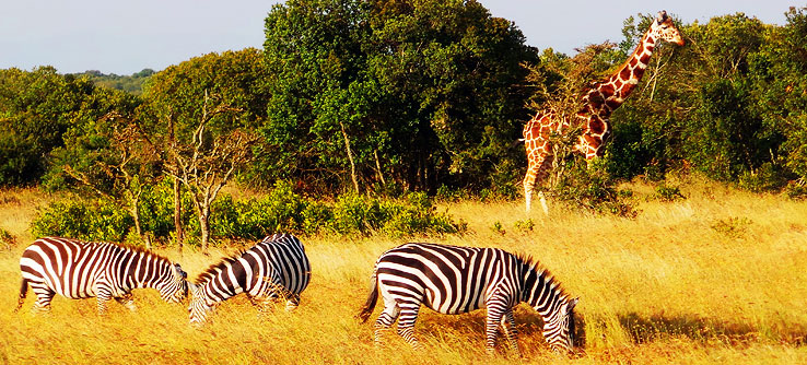 Zebras graze in the shadow of a giraffe.