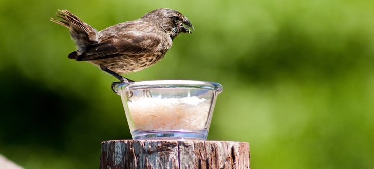 Human-introduced foods like rice may be driving changes in beak shape.