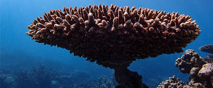 Acropora coral resting on the reef