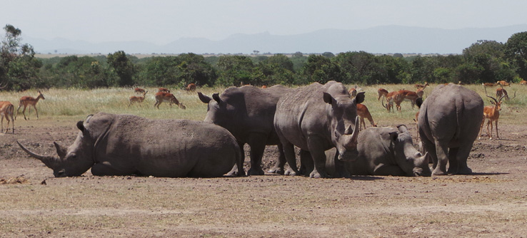 White rhinos in the research area.