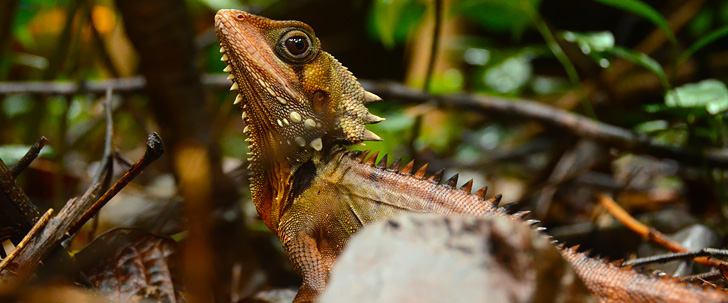 Get up close and personal with Daintree's dragons. Boyd's Forest Dragon